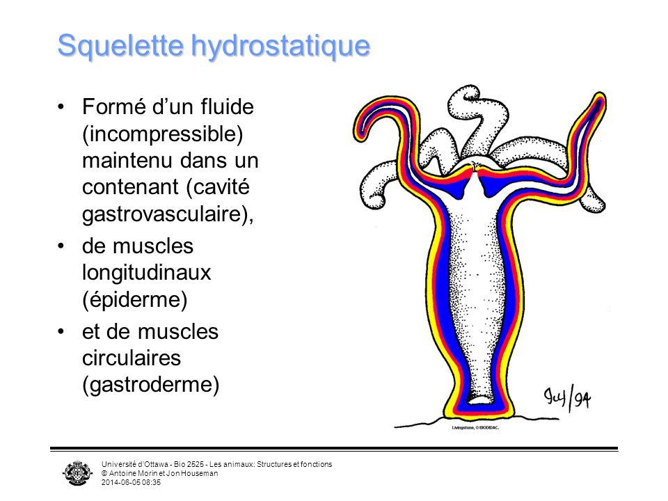 Université dOttawa - Bio 2525 - Les animaux: Structures et fonctions © Antoine Morin et Jon Houseman 2014-06-05 08:37 Squelette hydrostatique Formé du