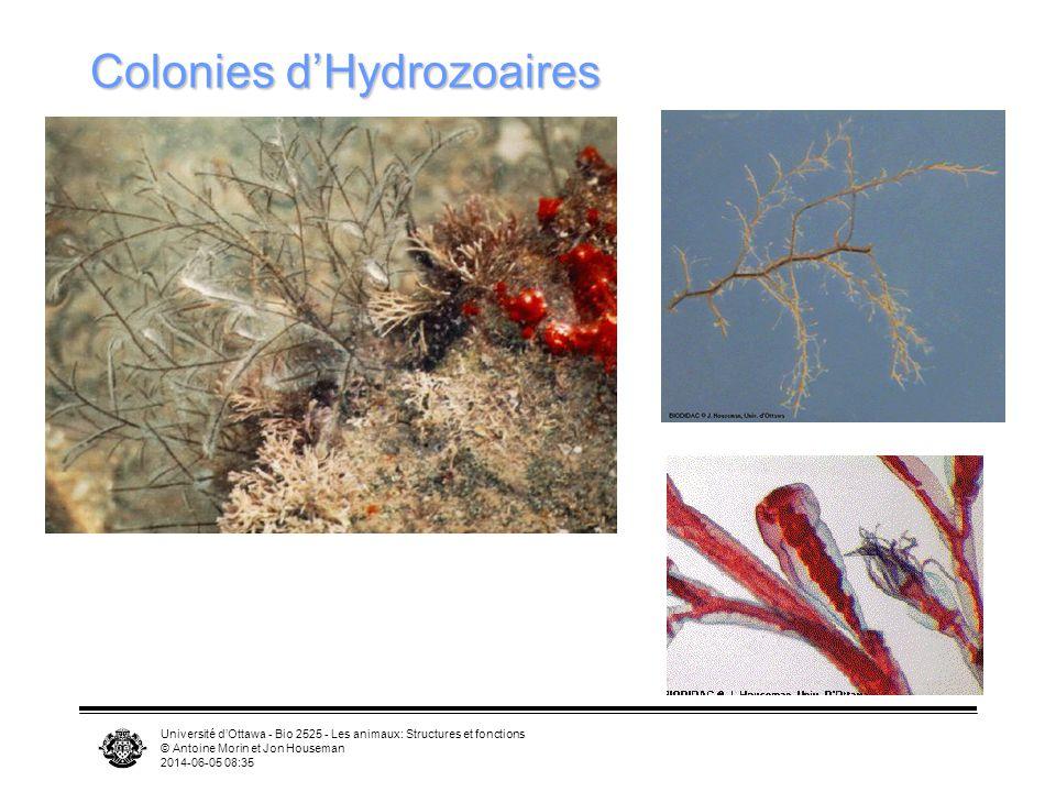 Université dOttawa - Bio 2525 - Les animaux: Structures et fonctions © Antoine Morin et Jon Houseman 2014-06-05 08:37 Colonies dHydrozoaires