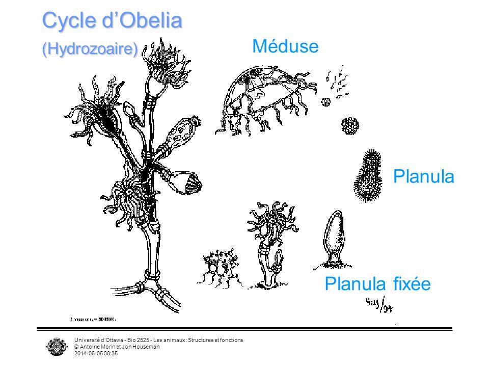Université dOttawa - Bio 2525 - Les animaux: Structures et fonctions © Antoine Morin et Jon Houseman 2014-06-05 08:37 Méduse Planula Planula fixée Cyc
