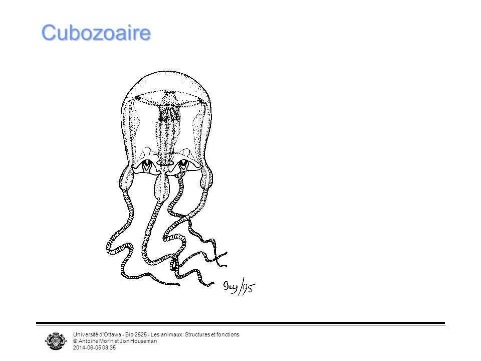 Université dOttawa - Bio 2525 - Les animaux: Structures et fonctions © Antoine Morin et Jon Houseman 2014-06-05 08:37 Cubozoaire