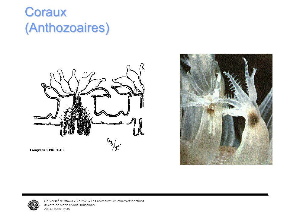 Université dOttawa - Bio 2525 - Les animaux: Structures et fonctions © Antoine Morin et Jon Houseman 2014-06-05 08:37 Coraux (Anthozoaires)
