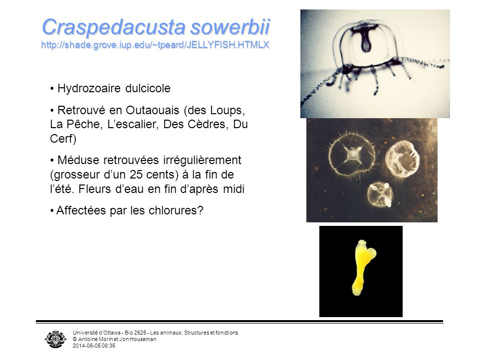 Université dOttawa - Bio 2525 - Les animaux: Structures et fonctions © Antoine Morin et Jon Houseman 2014-06-05 08:37 Craspedacusta sowerbii http://sh