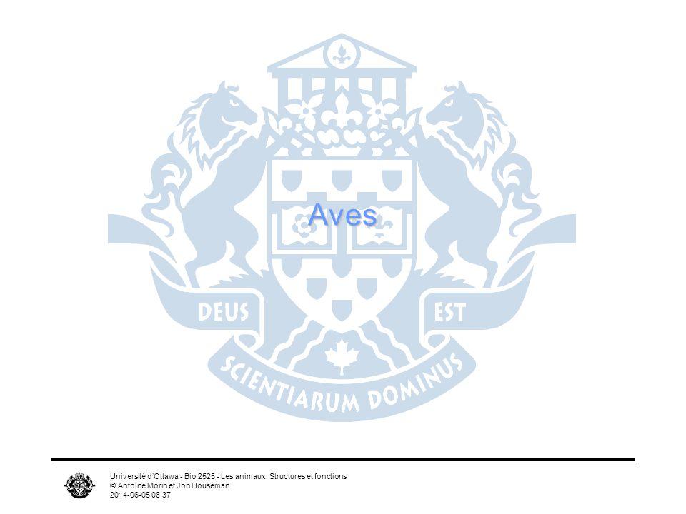 Université dOttawa - Bio 2525 - Les animaux: Structures et fonctions © Antoine Morin et Jon Houseman 2014-06-05 08:39 Aile RadiusRadius UlnaUlna HumérusHumérus Doigt 1 Doigt 2 Doigt 3