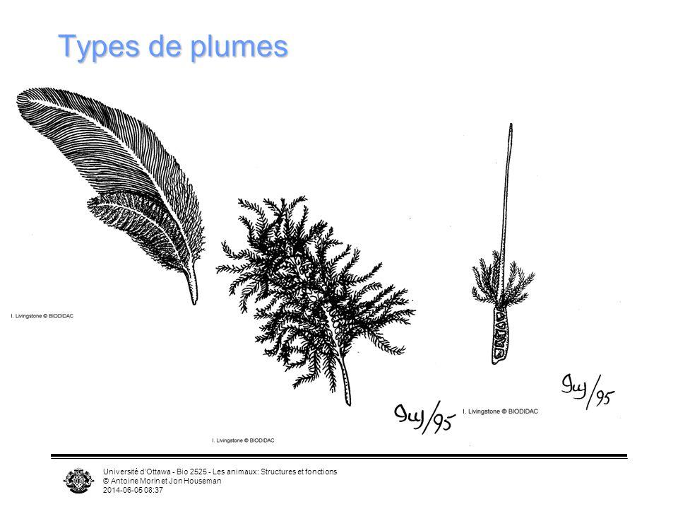 Université dOttawa - Bio 2525 - Les animaux: Structures et fonctions © Antoine Morin et Jon Houseman 2014-06-05 08:39 Morphologie des plumes Rachis ba