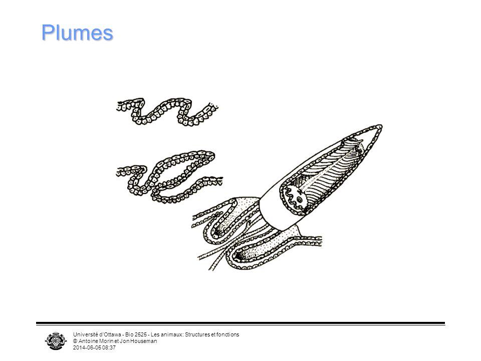 Université dOttawa - Bio 2525 - Les animaux: Structures et fonctions © Antoine Morin et Jon Houseman 2014-06-05 08:39 Types de plumes