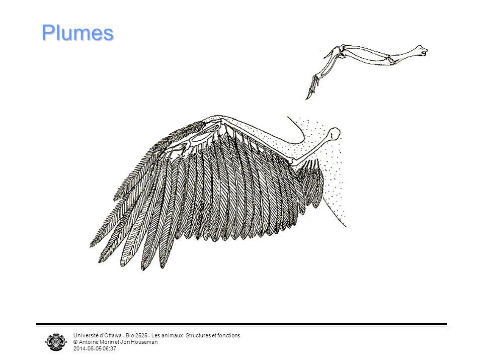 Université dOttawa - Bio 2525 - Les animaux: Structures et fonctions © Antoine Morin et Jon Houseman 2014-06-05 08:39 Plumes Muscles permettent de fai