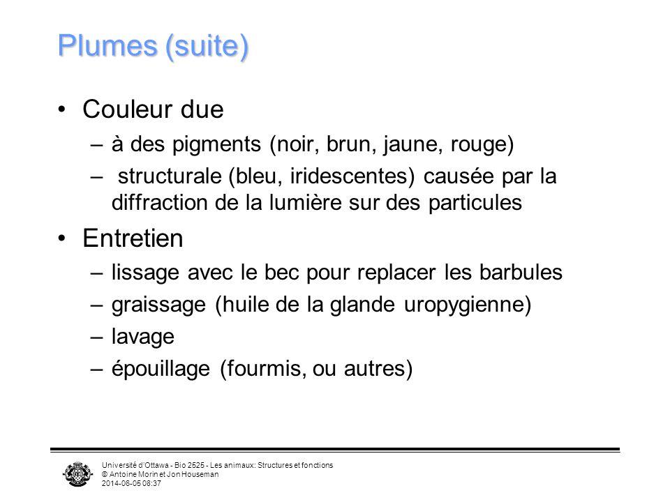 Université dOttawa - Bio 2525 - Les animaux: Structures et fonctions © Antoine Morin et Jon Houseman 2014-06-05 08:39 Plumes