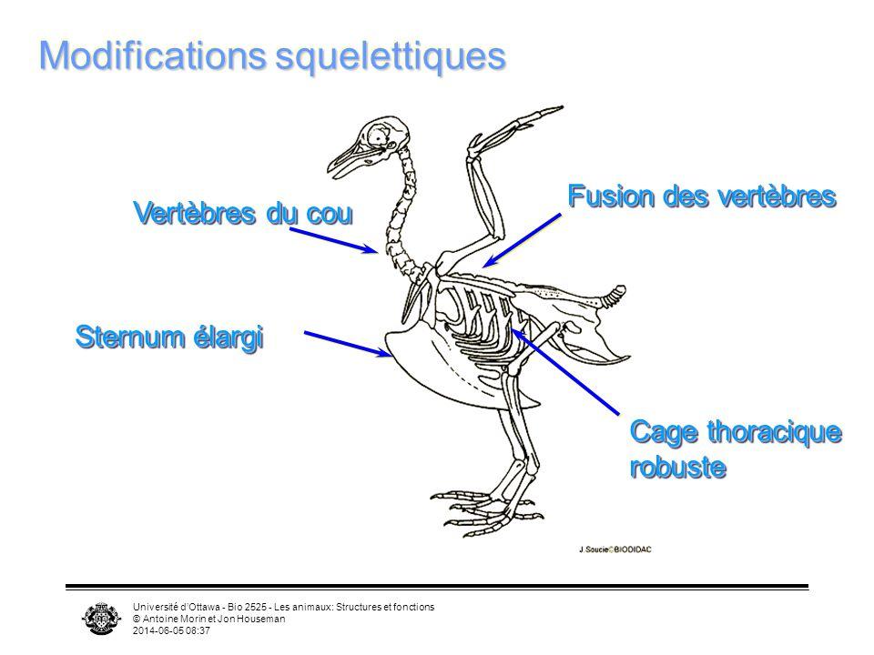Université dOttawa - Bio 2525 - Les animaux: Structures et fonctions © Antoine Morin et Jon Houseman 2014-06-05 08:39 Squelette Vol exige un squelette