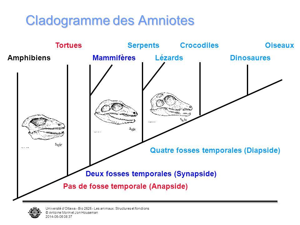 Université dOttawa - Bio 2525 - Les animaux: Structures et fonctions © Antoine Morin et Jon Houseman 2014-06-05 08:39 Plumes Muscles permettent de faire bouger et dorienter les plumes