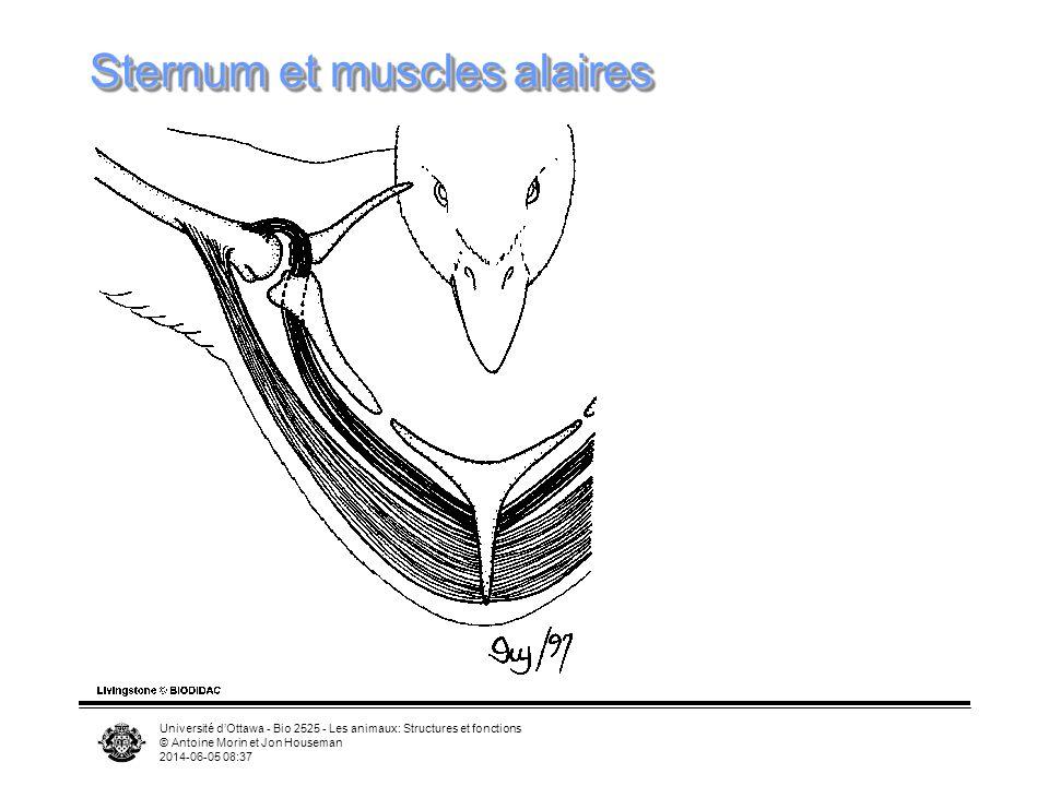 Université dOttawa - Bio 2525 - Les animaux: Structures et fonctions © Antoine Morin et Jon Houseman 2014-06-05 08:39 Modifications squelettiques Ster