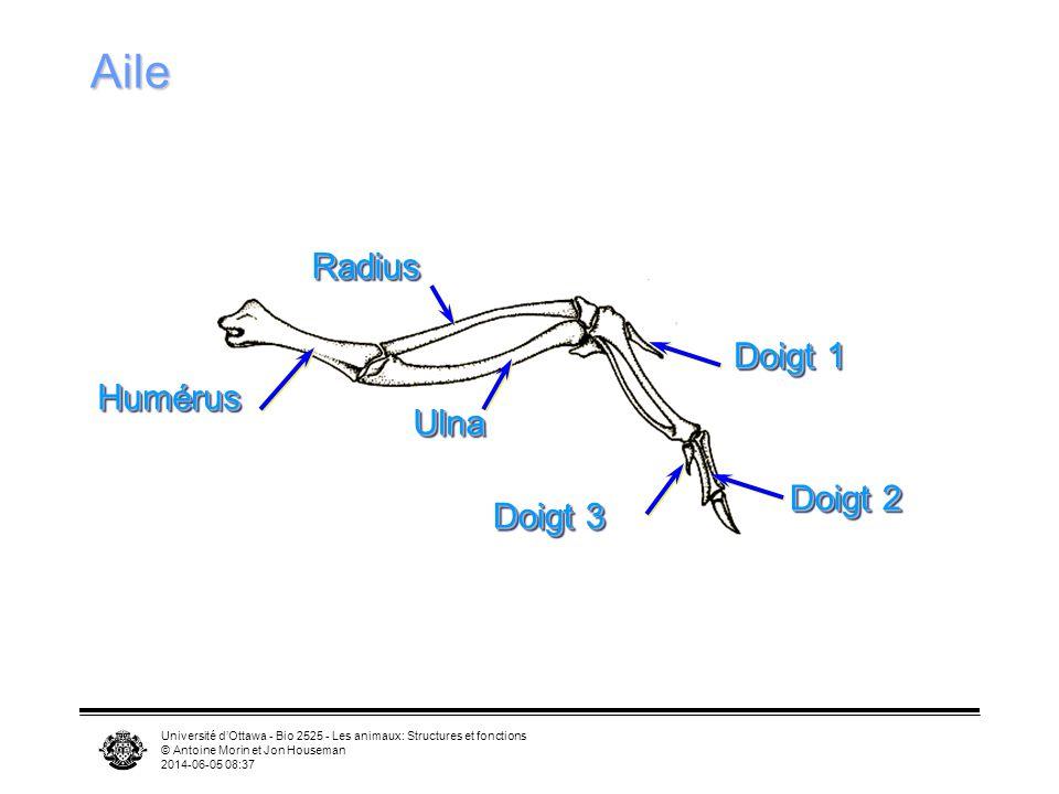 Université dOttawa - Bio 2525 - Les animaux: Structures et fonctions © Antoine Morin et Jon Houseman 2014-06-05 08:39 Sternum et muscles alaires