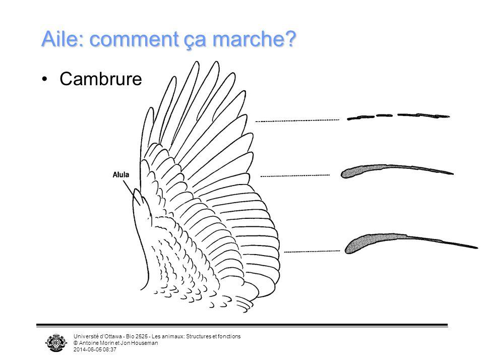 Université dOttawa - Bio 2525 - Les animaux: Structures et fonctions © Antoine Morin et Jon Houseman 2014-06-05 08:39 Aile RadiusRadius UlnaUlna Humér