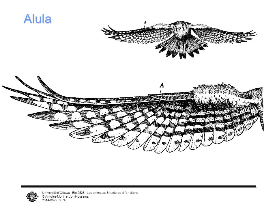 Université dOttawa - Bio 2525 - Les animaux: Structures et fonctions © Antoine Morin et Jon Houseman 2014-06-05 08:39 Principe de continuité et turbul