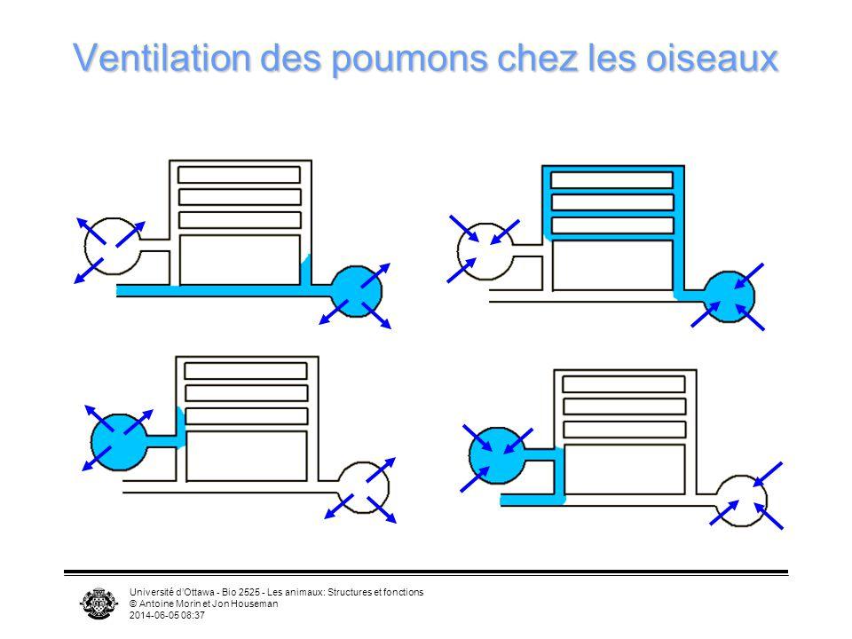 Université dOttawa - Bio 2525 - Les animaux: Structures et fonctions © Antoine Morin et Jon Houseman 2014-06-05 08:39 Sacs aériens TrachéeTrachée Sac