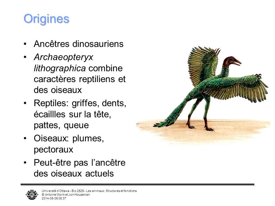 Université dOttawa - Bio 2525 - Les animaux: Structures et fonctions © Antoine Morin et Jon Houseman 2014-06-05 08:39 Archaeopteryx lithographica Retr