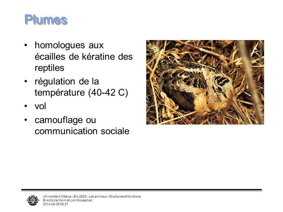Université dOttawa - Bio 2525 - Les animaux: Structures et fonctions © Antoine Morin et Jon Houseman 2014-06-05 08:39 PlumesPlumes homologues aux écailles de kératine des reptiles régulation de la température (40-42 C) vol camouflage ou communication sociale
