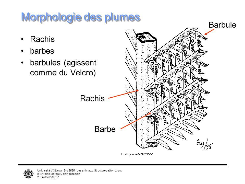 Université dOttawa - Bio 2525 - Les animaux: Structures et fonctions © Antoine Morin et Jon Houseman 2014-06-05 08:39 Morphologie des plumes Rachis barbes barbules (agissent comme du Velcro) Rachis Barbe Barbule