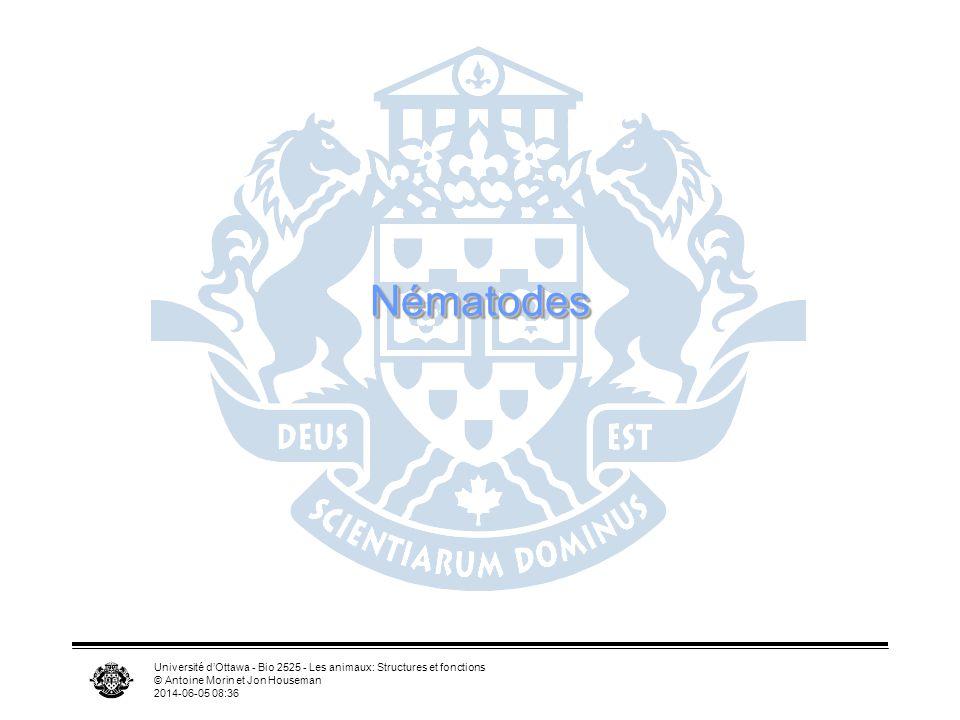 Université dOttawa - Bio 2525 - Les animaux: Structures et fonctions © Antoine Morin et Jon Houseman 2014-06-05 08:39 NématodesNématodes