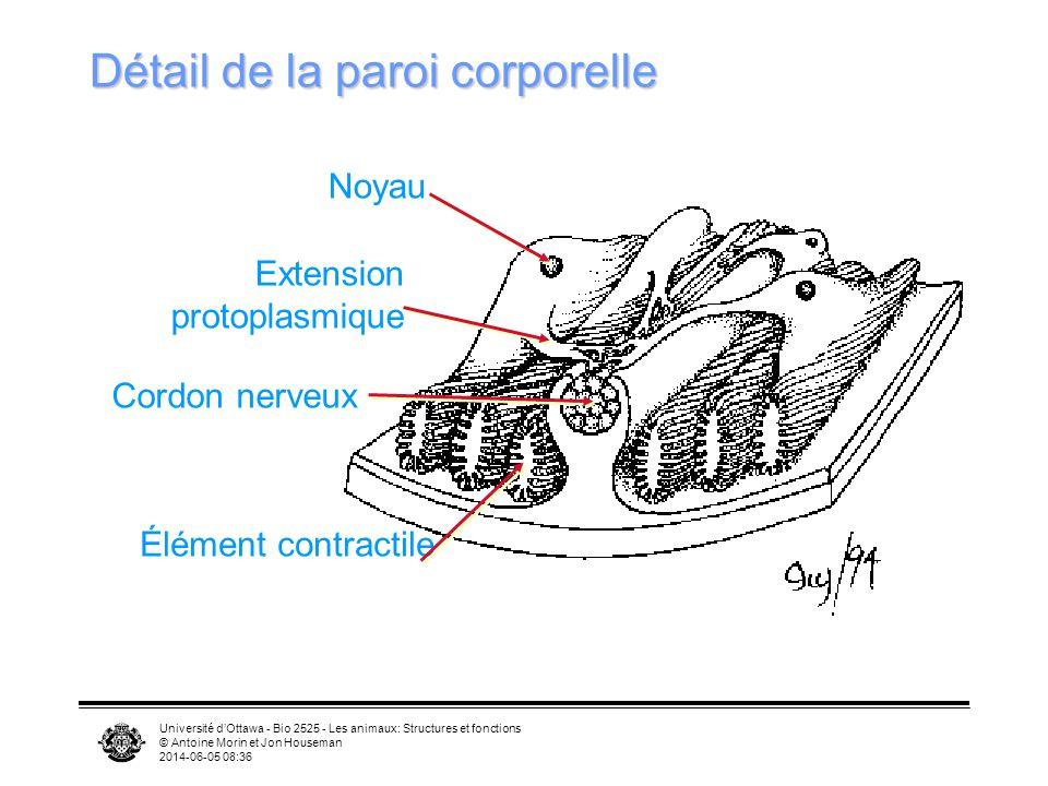 Université dOttawa - Bio 2525 - Les animaux: Structures et fonctions © Antoine Morin et Jon Houseman 2014-06-05 08:39 Détail de la paroi corporelle Élément contractile Noyau Extension protoplasmique Cordon nerveux