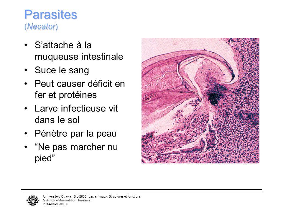 Université dOttawa - Bio 2525 - Les animaux: Structures et fonctions © Antoine Morin et Jon Houseman 2014-06-05 08:39 Parasites (Necator) Sattache à la muqueuse intestinale Suce le sang Peut causer déficit en fer et protéines Larve infectieuse vit dans le sol Pénètre par la peau Ne pas marcher nu pied