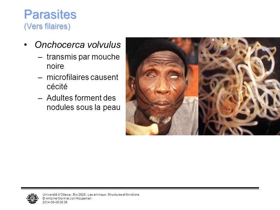 Université dOttawa - Bio 2525 - Les animaux: Structures et fonctions © Antoine Morin et Jon Houseman 2014-06-05 08:39 Parasites (Vers filaires) Onchocerca volvulus –transmis par mouche noire –microfilaires causent cécité –Adultes forment des nodules sous la peau