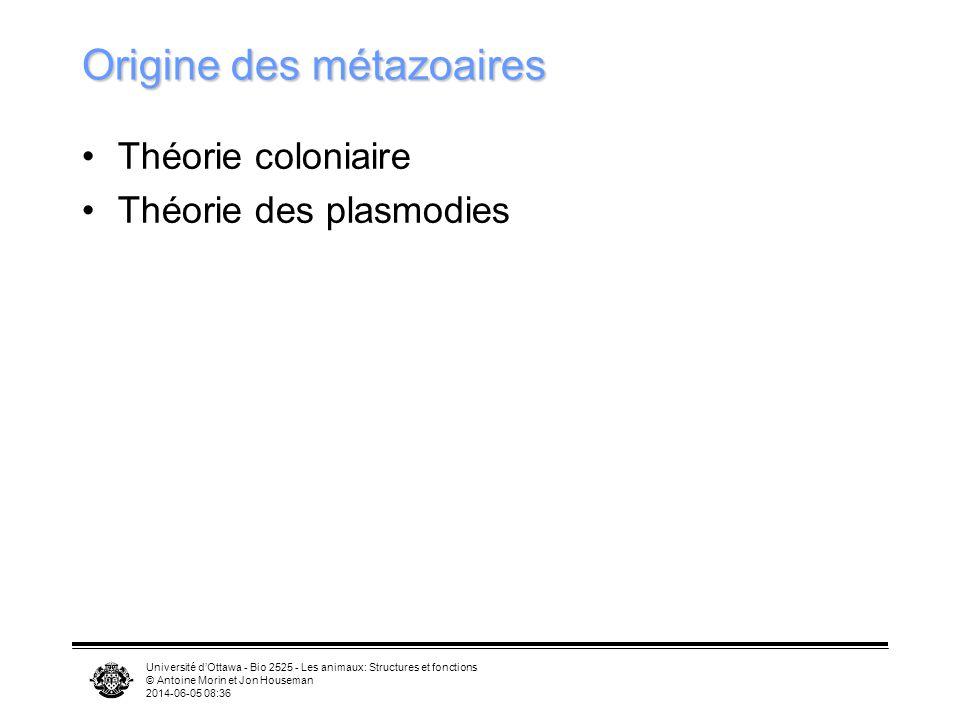 Université dOttawa - Bio 2525 - Les animaux: Structures et fonctions © Antoine Morin et Jon Houseman 2014-06-05 08:39 Origine des métazoaires Théorie coloniaire Théorie des plasmodies