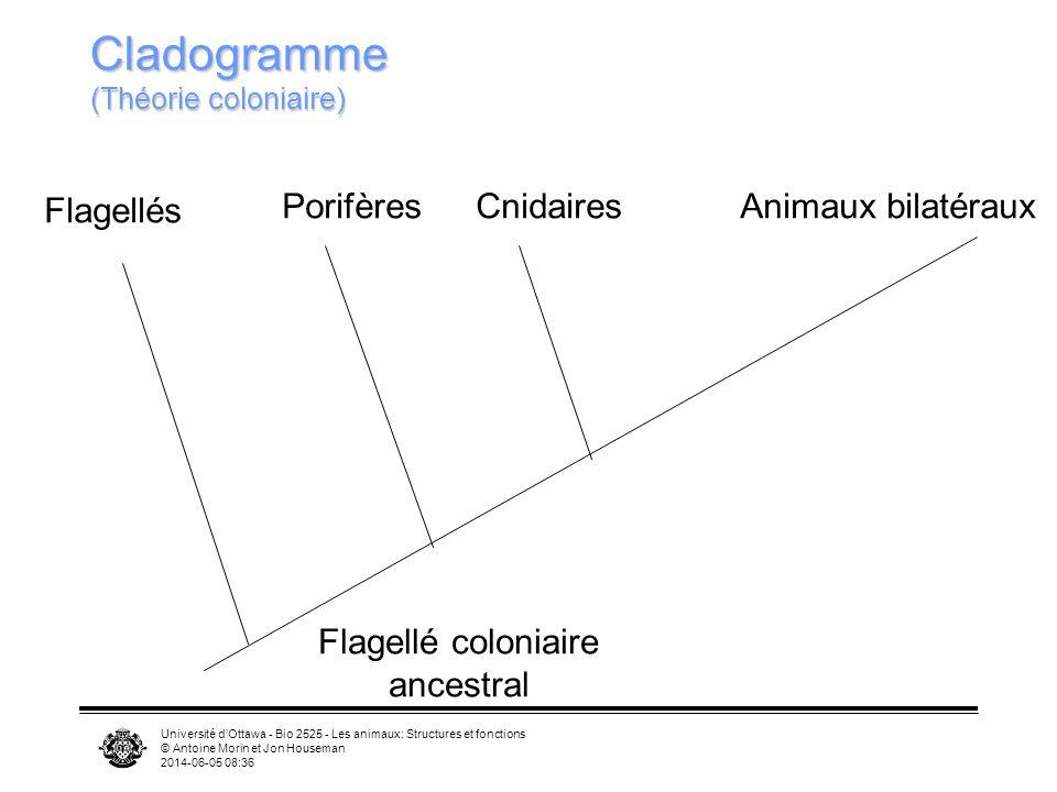 Université dOttawa - Bio 2525 - Les animaux: Structures et fonctions © Antoine Morin et Jon Houseman 2014-06-05 08:39 Cladogramme (Théorie coloniaire)