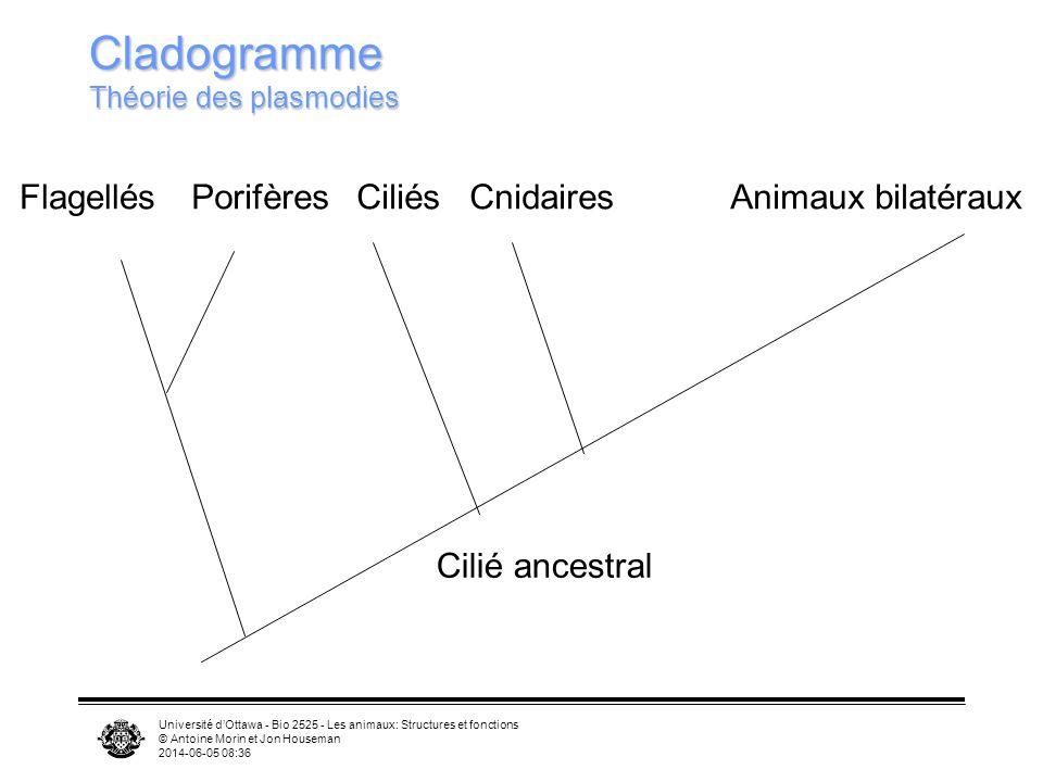 Université dOttawa - Bio 2525 - Les animaux: Structures et fonctions © Antoine Morin et Jon Houseman 2014-06-05 08:39 Cladogramme Théorie des plasmodi
