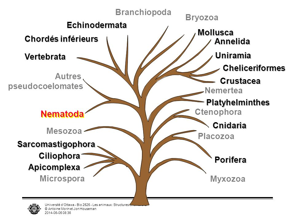 Université dOttawa - Bio 2525 - Les animaux: Structures et fonctions © Antoine Morin et Jon Houseman 2014-06-05 08:39 Myxozoa Uniramia Cheliceriformes