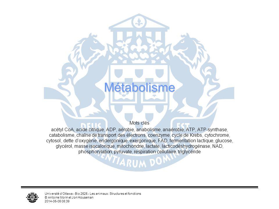 Université dOttawa - Bio 2525 - Les animaux: Structures et fonctions © Antoine Morin et Jon Houseman 2014-06-05 08:41 Autres sources dénergie Polysaccharides Lipides Protéines Sucres simples Acides gras Acides aminés Pyruvate Acétyl CoA Phosphorylation oxydative ATP Cycle de lacide citrique Glycolyse
