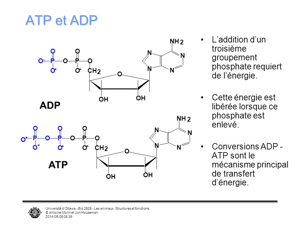 Université dOttawa - Bio 2525 - Les animaux: Structures et fonctions © Antoine Morin et Jon Houseman 2014-06-05 08:41 Électrons transportés par 6 NADH et 2FADH2 Glycolyse 2 Pyruvate Glucose Cycle de Krebs ATP Chaîne de transport des électrons Électrons transportés par 2 NADH Cytosol 2 Acétyl CoA Électrons transportés par 2 NADH ATP +2+34+2 +0 (-2)