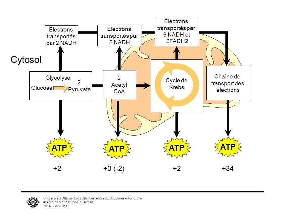 Université dOttawa - Bio 2525 - Les animaux: Structures et fonctions © Antoine Morin et Jon Houseman 2014-06-05 08:41 Grandes étapes Glycolyse –1 glucose=2 acide pyruvique +2ATP +2NADH –Sous-étapes exergonique et dautres endergoniques –Dans le cytosol –Les deux molécules de pyruvate contiennent encore la plupart de lénergie Pyruvate entre dans mitochondries –Acide pyruvique tranformé en Acétyl CoA (réaction de transition à la membrane externe de la mitochondrie) (produit NADH x2) Cycle de Krebs (acide citrique) dans la matrice –Donne (CO 2 +3 NADH+FADH2+ATP) x2 Phosporylation oxidative