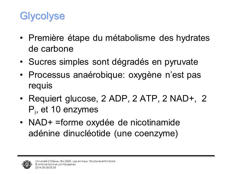 Université dOttawa - Bio 2525 - Les animaux: Structures et fonctions © Antoine Morin et Jon Houseman 2014-06-05 08:41 Glycolyse: bilan Énergie nette 2 ATP Les deux molécules de pyruvate servent de substrat pour létape suivante glucose + 2 ATP + 2 ADP + 2 P i + 2 NAD + 2 pyruvate + 2 NADH + 2 H 2 O + 4 ATP 10 enzymes