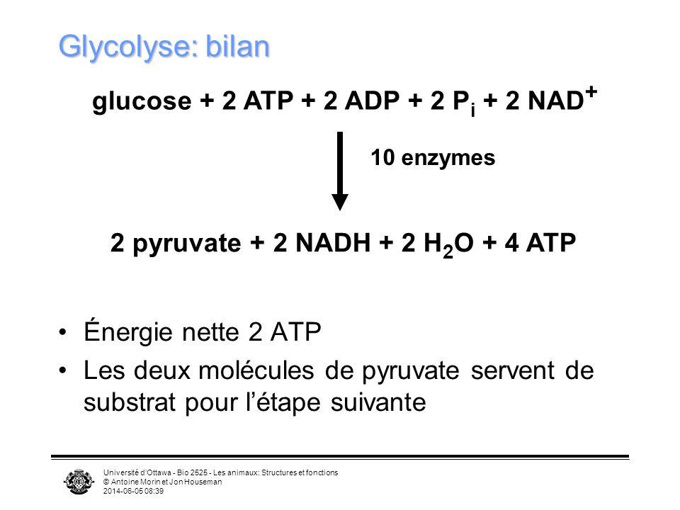 Université dOttawa - Bio 2525 - Les animaux: Structures et fonctions © Antoine Morin et Jon Houseman 2014-06-05 08:41 Stockage dénergie ATP –10 9 molécules dATP dans cellule typique –Remplacé en 1-2 minutes Glycogène –Polysaccharide complexe dans le cytoplasme –Réserve pour 1j chez les humains Graisses –Masse isocalorique est 15% de celle du glycogène –Réserve de 30j chez les humains