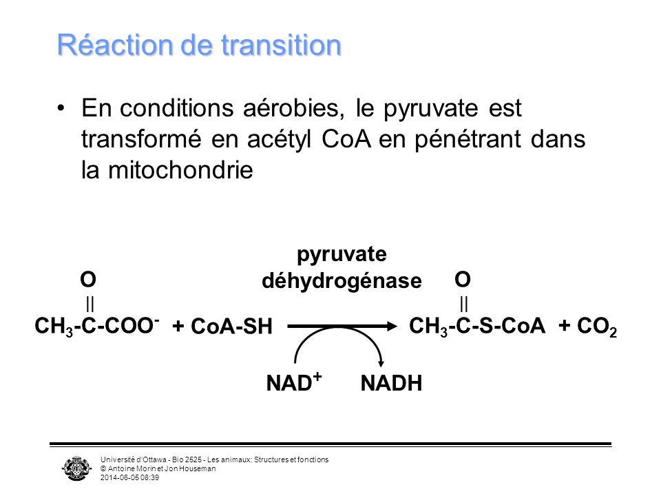 Université dOttawa - Bio 2525 - Les animaux: Structures et fonctions © Antoine Morin et Jon Houseman 2014-06-05 08:41 Cycle de lacide citrique (Krebs) Série de réactions qui démantèlent lacétyl CoA Les électrons et les atomes dhydrogène sont envoyés à la chaîne respiratoire et éventuellement combinés pour produire H 2 O