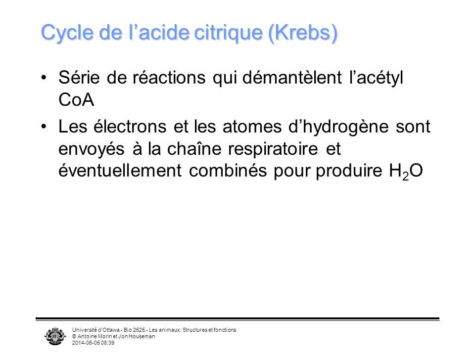 Université dOttawa - Bio 2525 - Les animaux: Structures et fonctions © Antoine Morin et Jon Houseman 2014-06-05 08:41 Lipides comme source dénergie Lorsque la cellule contient beaucoup dATP –Inhibition de la production dATP –Acétyl-CoA sert à la biosynthèse dacides gras –Acides gras entreposés sous forme de triglycérides, surtout sous forme de gouttelettes dans cellules adipeuses Lorsque le besoin sen fait sentir, les triglycérides sont hydrolysés dans le cytosol pour libérer des acides gras et le glycérol