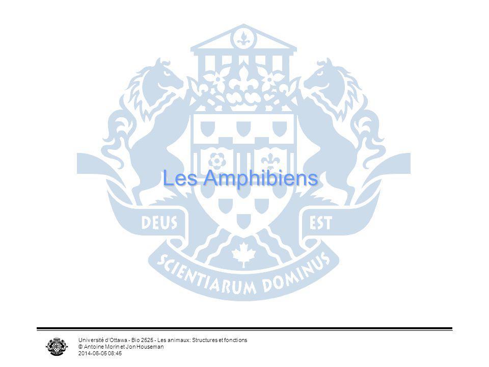 Université dOttawa - Bio 2525 - Les animaux: Structures et fonctions © Antoine Morin et Jon Houseman 2014-06-05 08:46 Les Amphibiens