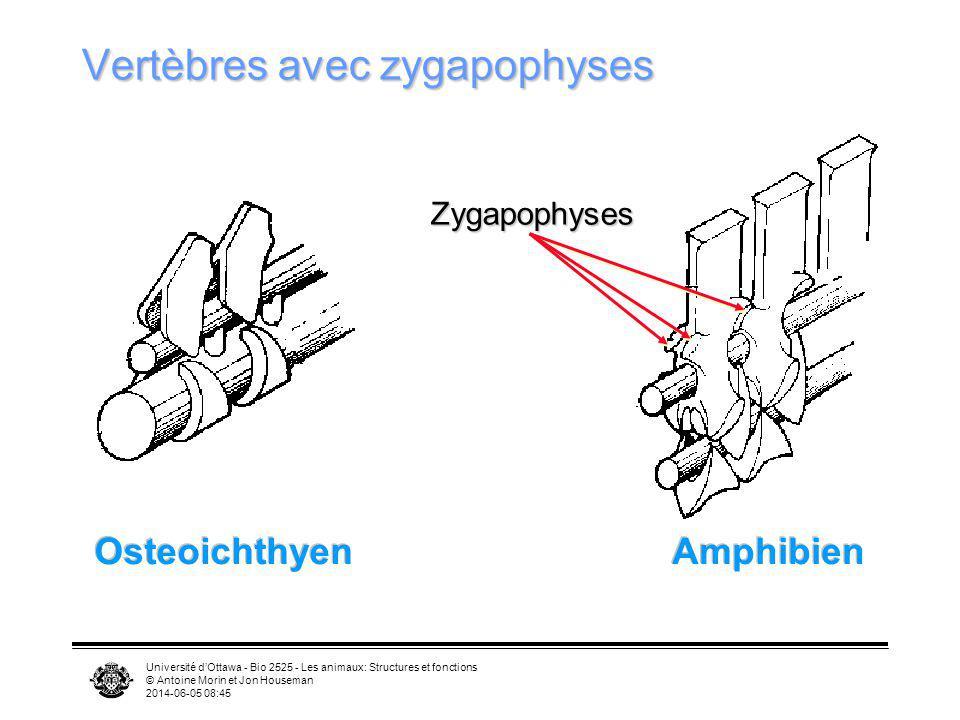 Université dOttawa - Bio 2525 - Les animaux: Structures et fonctions © Antoine Morin et Jon Houseman 2014-06-05 08:46 Vertèbres avec zygapophyses Oste