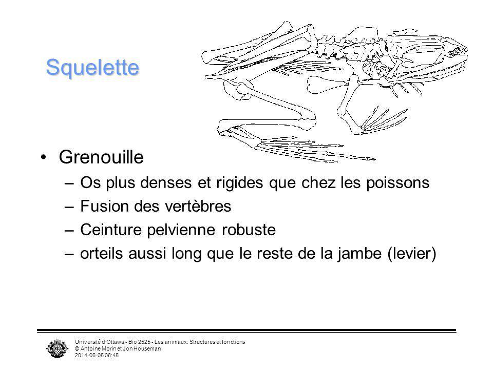 Université dOttawa - Bio 2525 - Les animaux: Structures et fonctions © Antoine Morin et Jon Houseman 2014-06-05 08:46 Squelette Grenouille –Os plus de