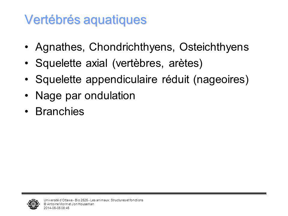 Université dOttawa - Bio 2525 - Les animaux: Structures et fonctions © Antoine Morin et Jon Houseman 2014-06-05 08:46 Vertébrés aquatiques Agnathes, C