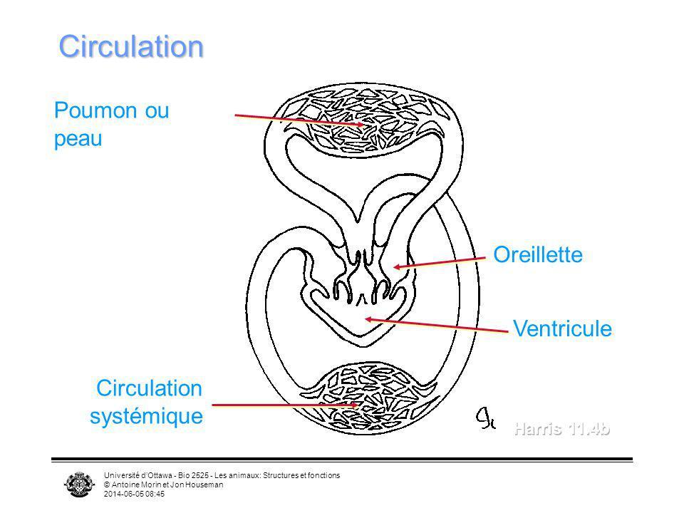 Université dOttawa - Bio 2525 - Les animaux: Structures et fonctions © Antoine Morin et Jon Houseman 2014-06-05 08:46 Circulation Poumon ou peau Circu