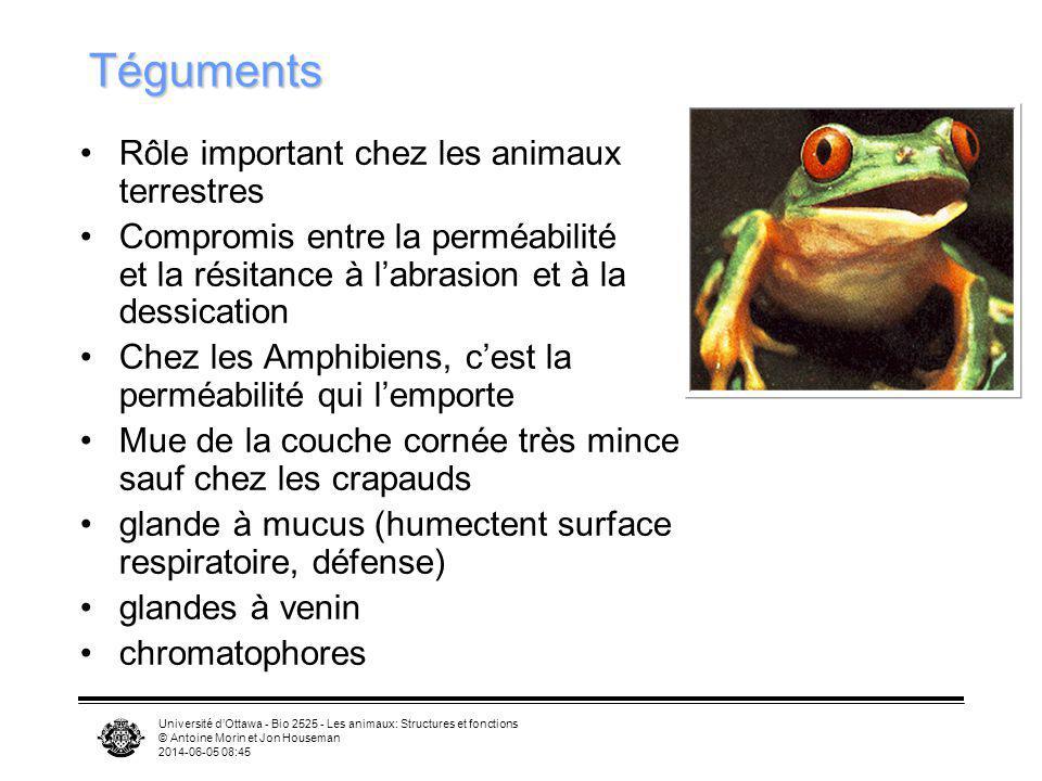 Université dOttawa - Bio 2525 - Les animaux: Structures et fonctions © Antoine Morin et Jon Houseman 2014-06-05 08:46 Téguments Rôle important chez le
