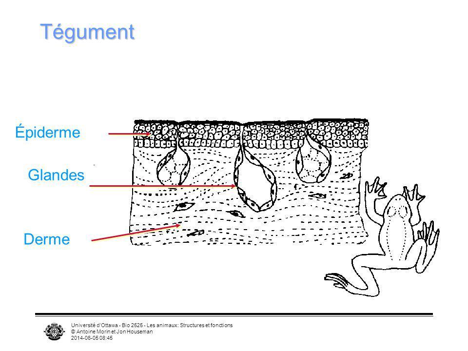 Université dOttawa - Bio 2525 - Les animaux: Structures et fonctions © Antoine Morin et Jon Houseman 2014-06-05 08:46 Tégument Derme Épiderme Glandes
