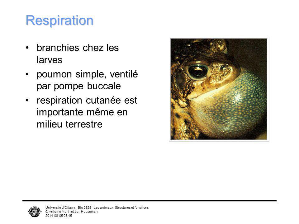 Université dOttawa - Bio 2525 - Les animaux: Structures et fonctions © Antoine Morin et Jon Houseman 2014-06-05 08:46 Respiration branchies chez les l