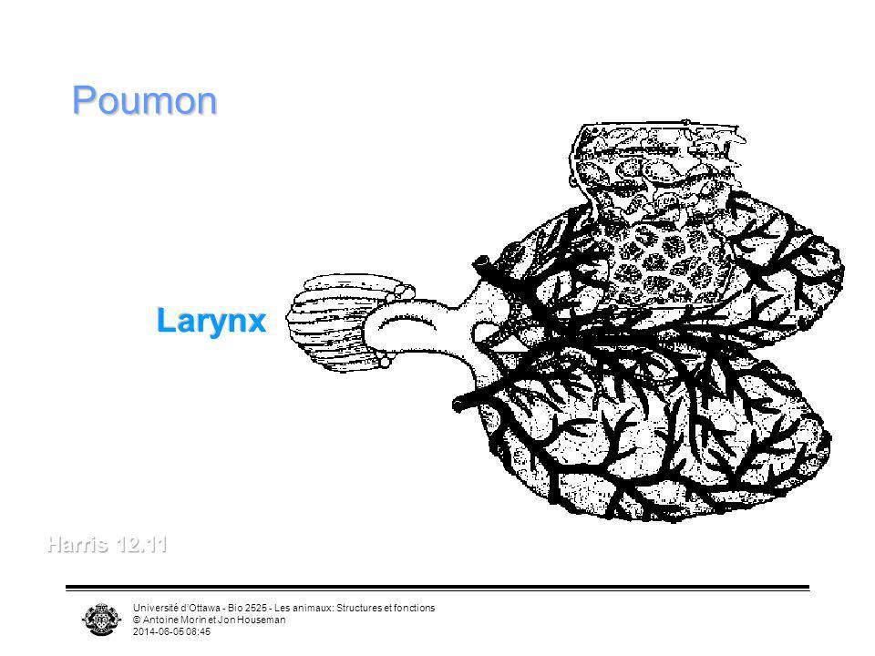 Université dOttawa - Bio 2525 - Les animaux: Structures et fonctions © Antoine Morin et Jon Houseman 2014-06-05 08:46 Poumon Larynx