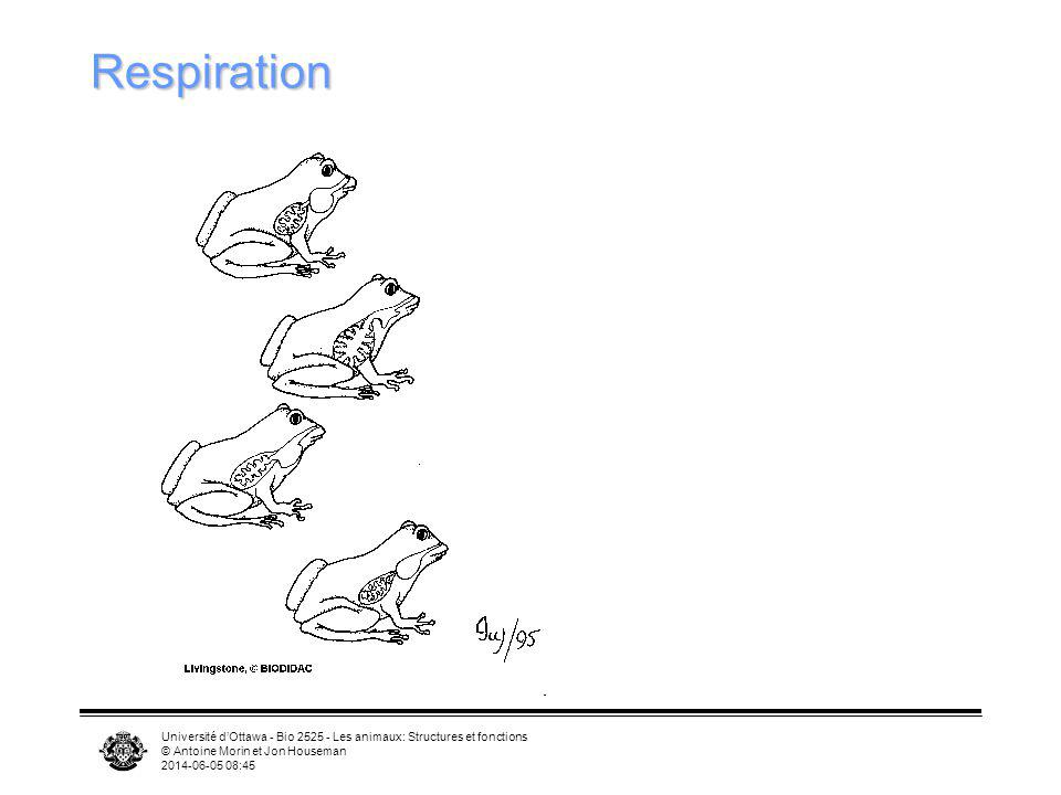 Université dOttawa - Bio 2525 - Les animaux: Structures et fonctions © Antoine Morin et Jon Houseman 2014-06-05 08:46 Respiration