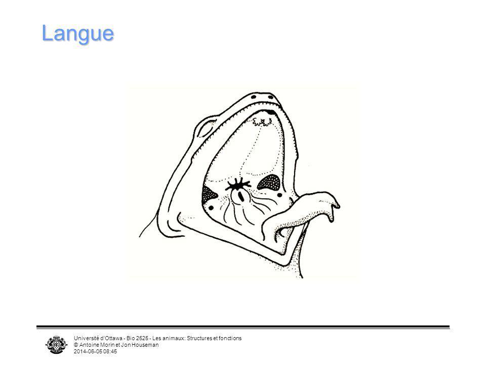 Université dOttawa - Bio 2525 - Les animaux: Structures et fonctions © Antoine Morin et Jon Houseman 2014-06-05 08:46 Langue