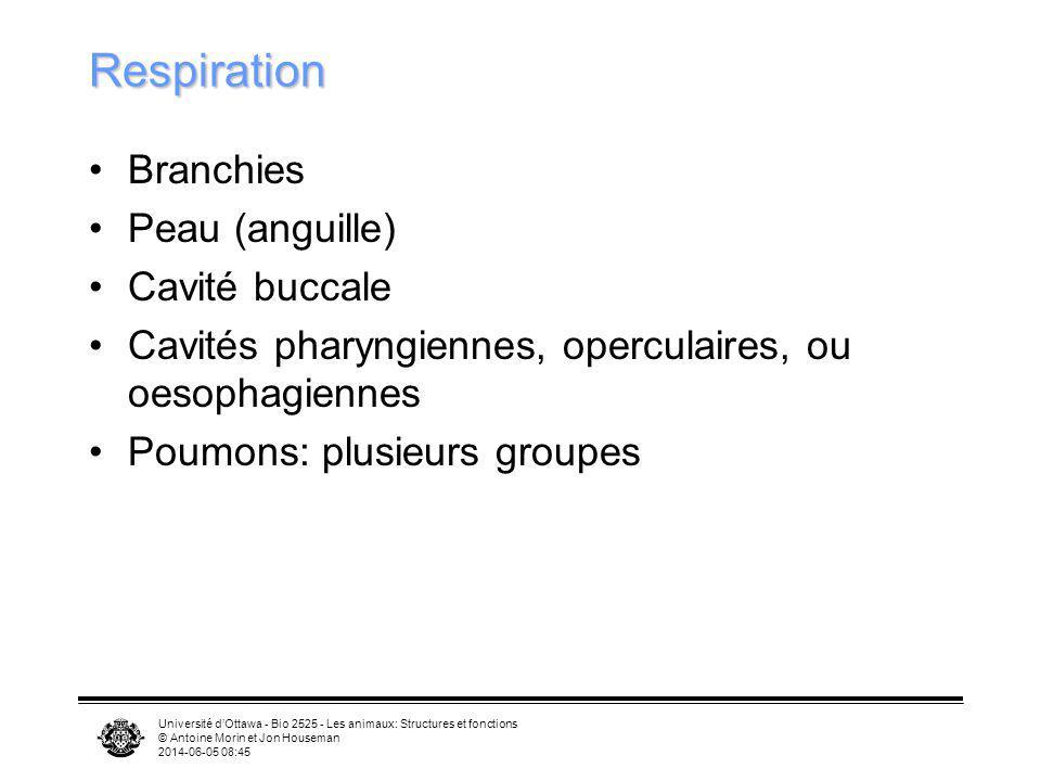 Université dOttawa - Bio 2525 - Les animaux: Structures et fonctions © Antoine Morin et Jon Houseman 2014-06-05 08:46 Respiration Branchies Peau (angu