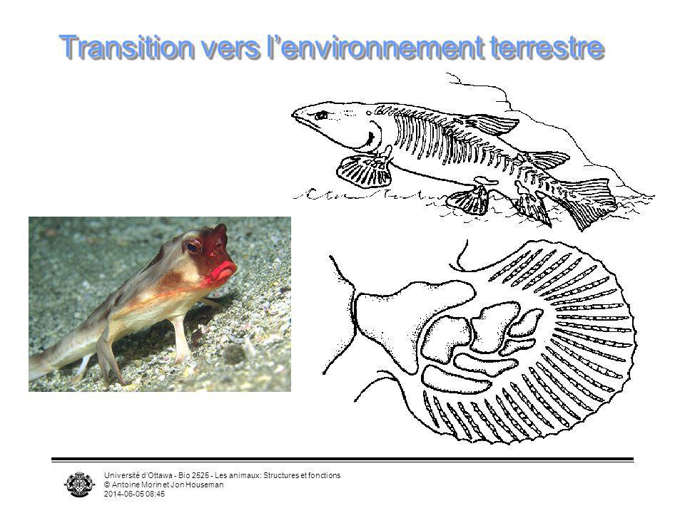 Université dOttawa - Bio 2525 - Les animaux: Structures et fonctions © Antoine Morin et Jon Houseman 2014-06-05 08:46 Transition vers lenvironnement t