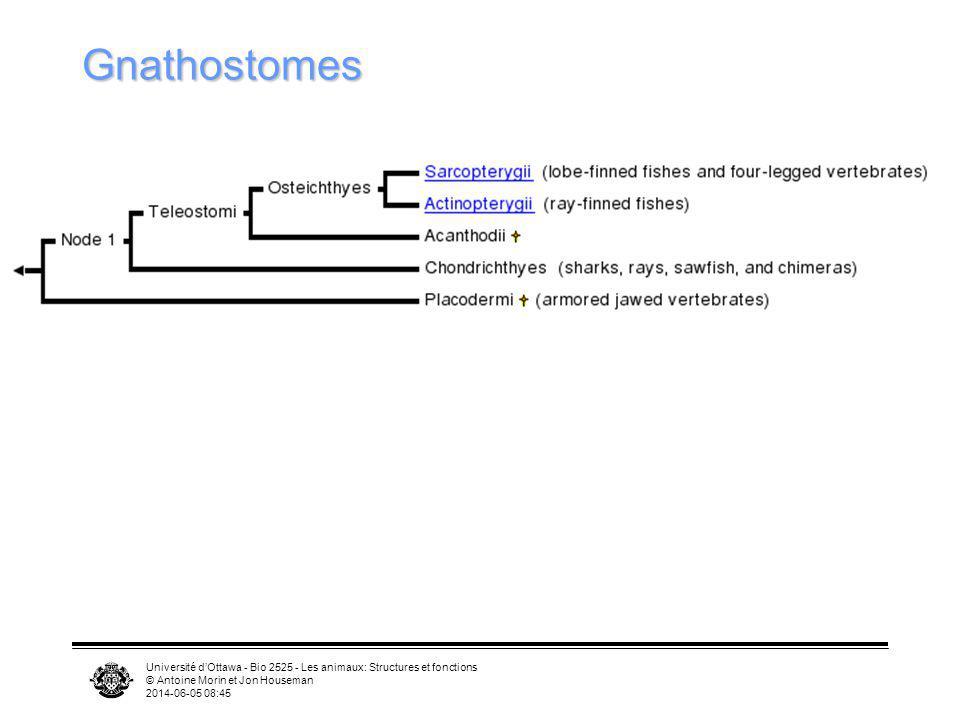 Université dOttawa - Bio 2525 - Les animaux: Structures et fonctions © Antoine Morin et Jon Houseman 2014-06-05 08:46 Gnathostomes